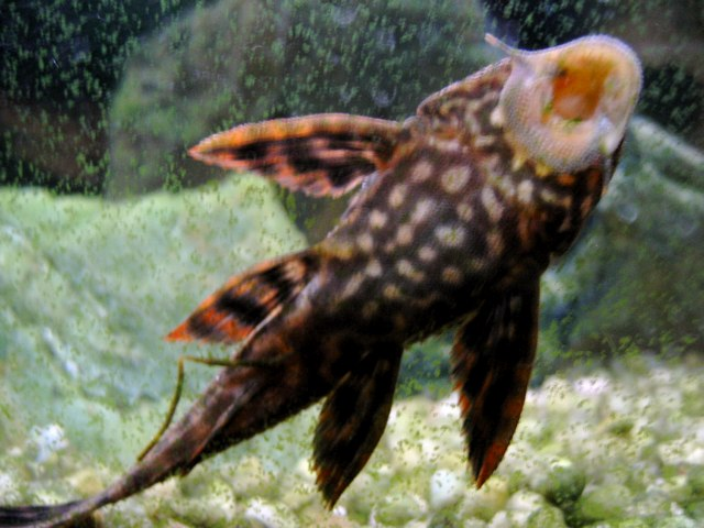 fish that clean tank video search engine at
